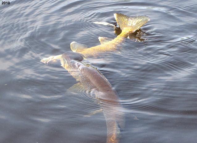 Ontario pike fishing for Northern pike fish