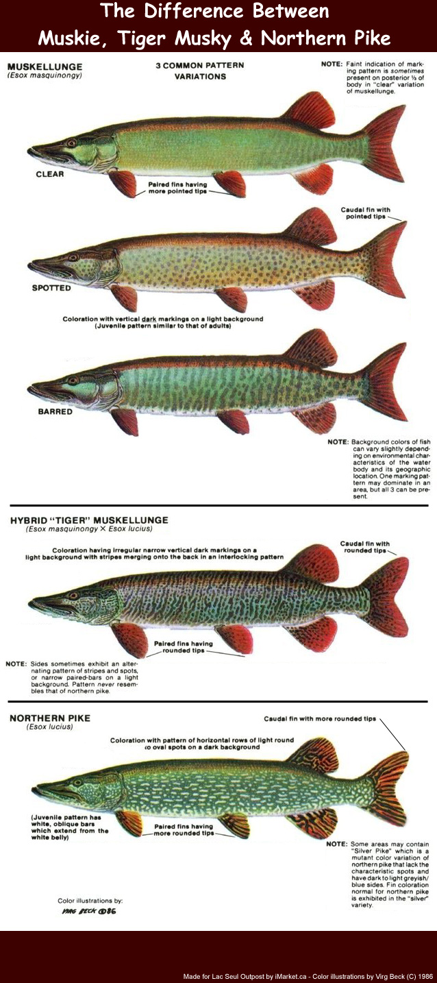 Difference Between Pike Muskie